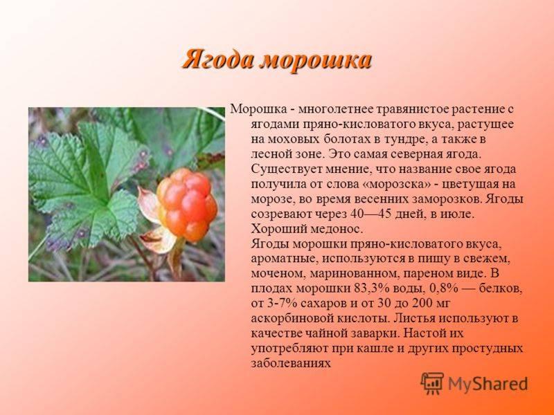 Ягода морошка: что полезного в северной ягоде