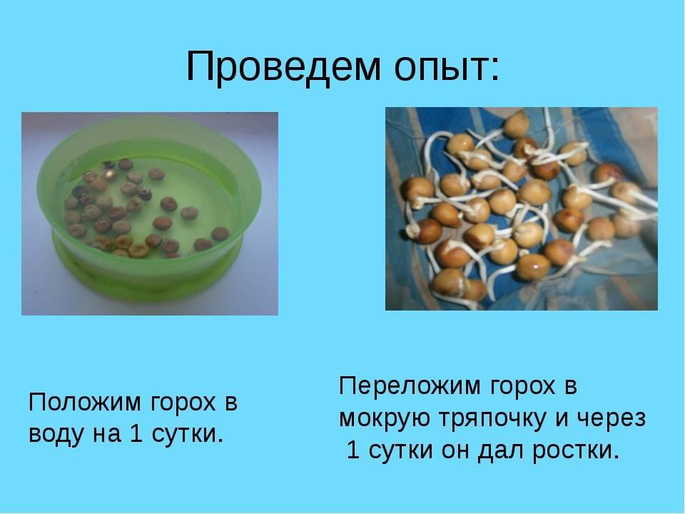 Горох – основной обзор бобовой культуры: состав и свойства, польза и вред для организма