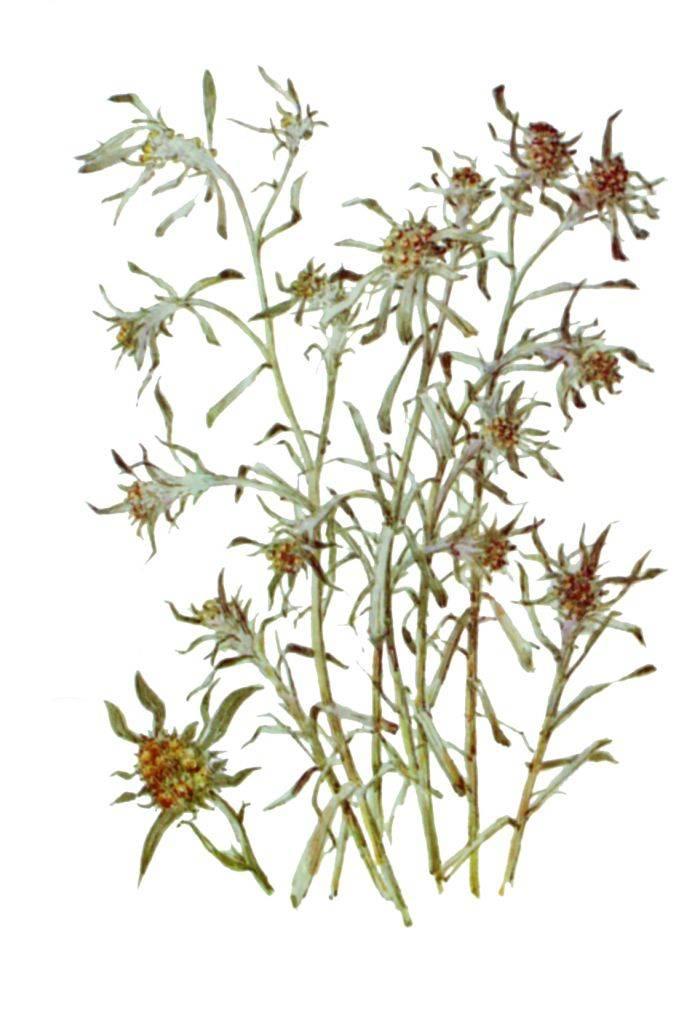 Полезные свойства сушеницы топяной и противопоказания