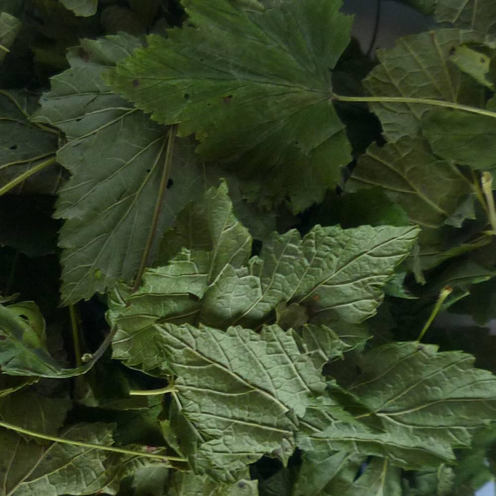 Листья смородины — лечебные свойства и противопоказания