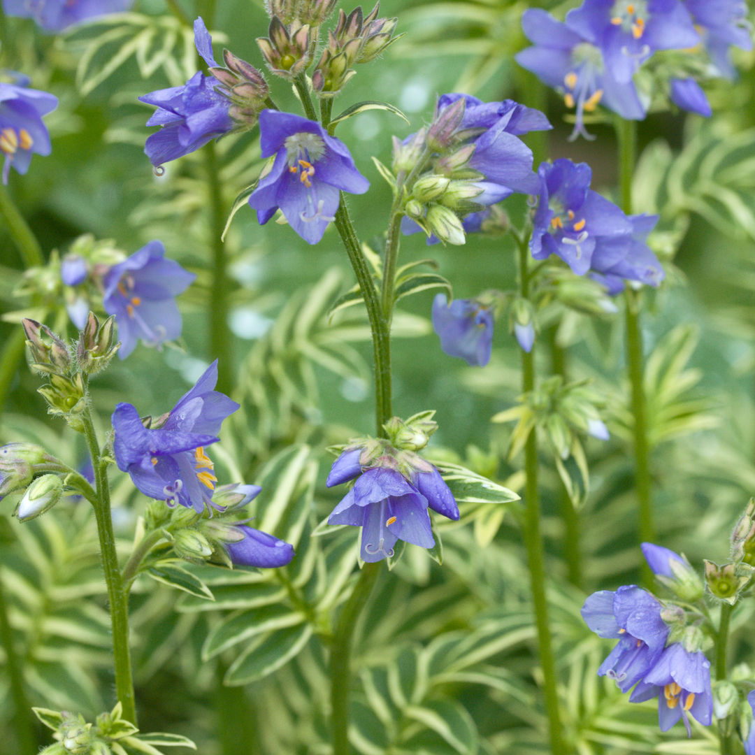 Лечебные свойства и противопоказания синюхи голубой, как применять