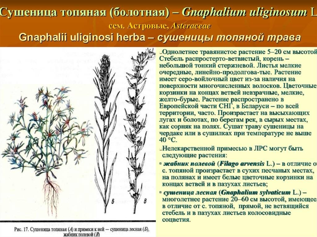 Сушеница болотная — описание и лечебные свойства