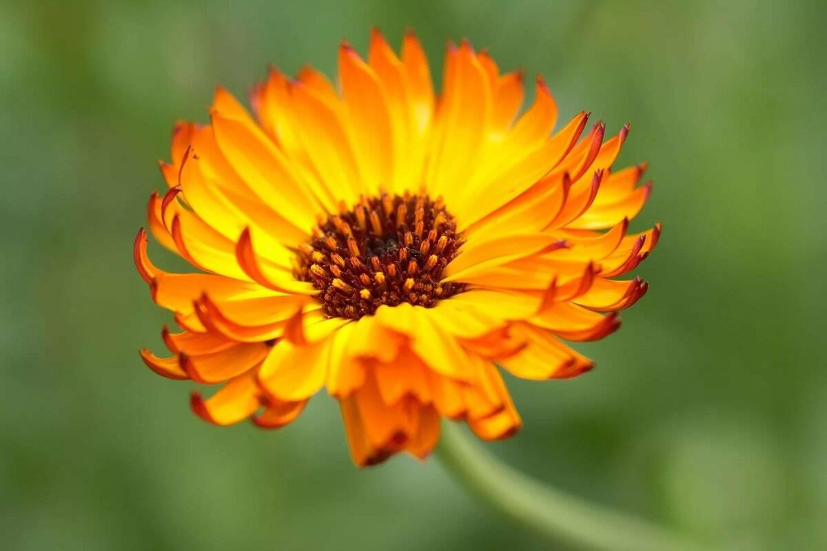 Календула, лечебные свойства и противопоказания