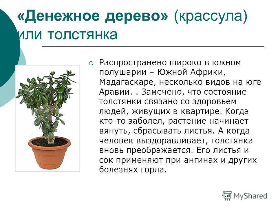 Описание денежного дерева: лечебные свойства и противопоказания