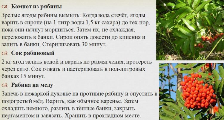 Черноплодная рябина: полезные свойства и противопоказания для мужчин и женщин