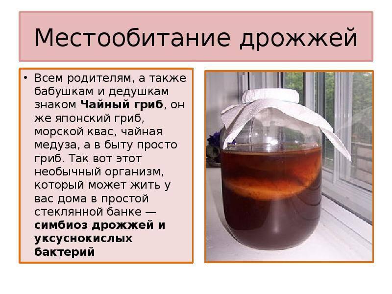 Полезные свойства чайного гриба и как сделать его дома