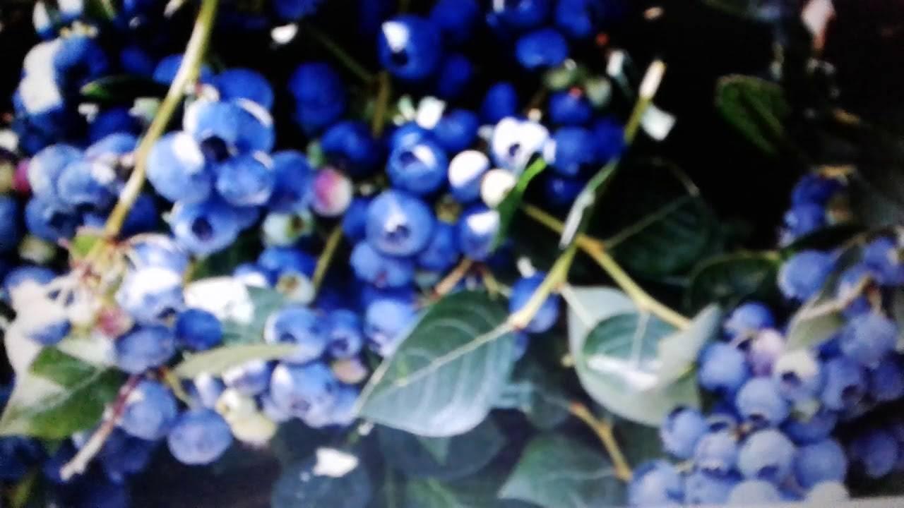 Голубика: чем полезна, от чего помогает, как использовать в лечебных целях