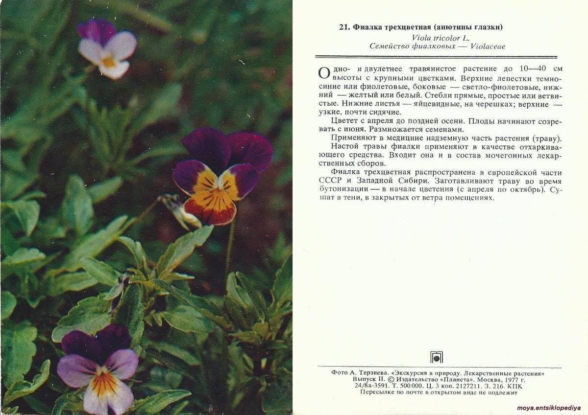 Фиалка трехцветная: уникальные лечебные свойства