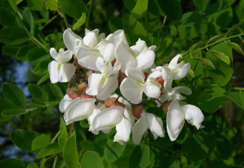 Цветы акации белой — лечебные свойства и противопоказания, рецепты народных средств