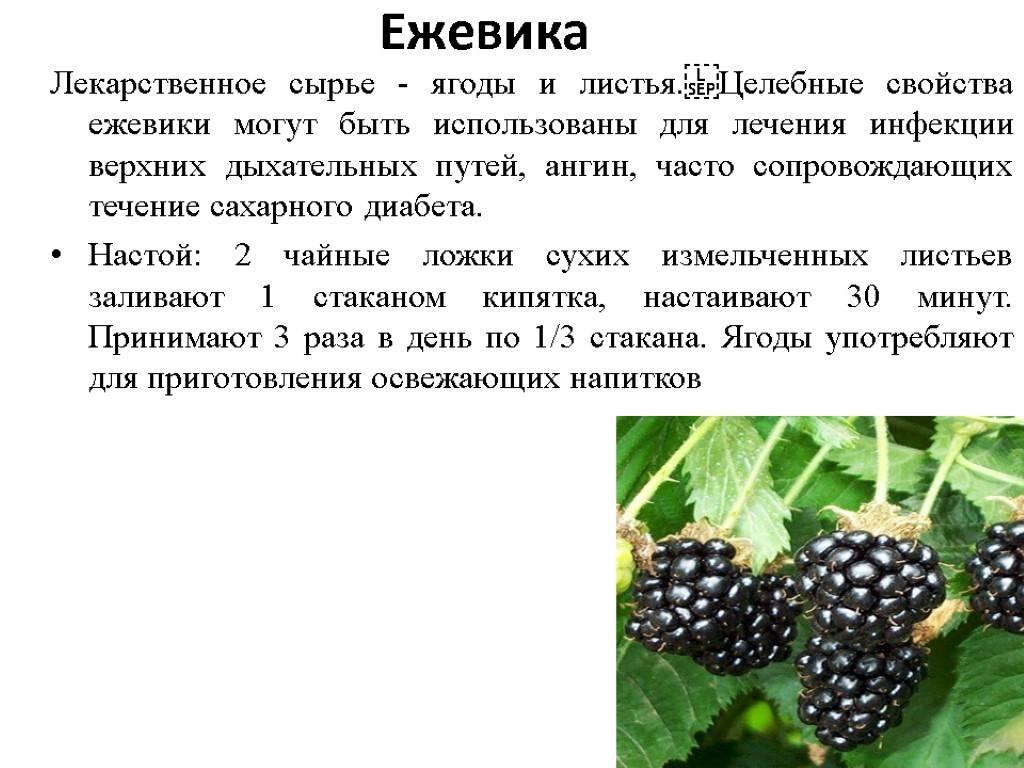 Чем полезна ежевика садовая. лечебные свойства и противопоказания