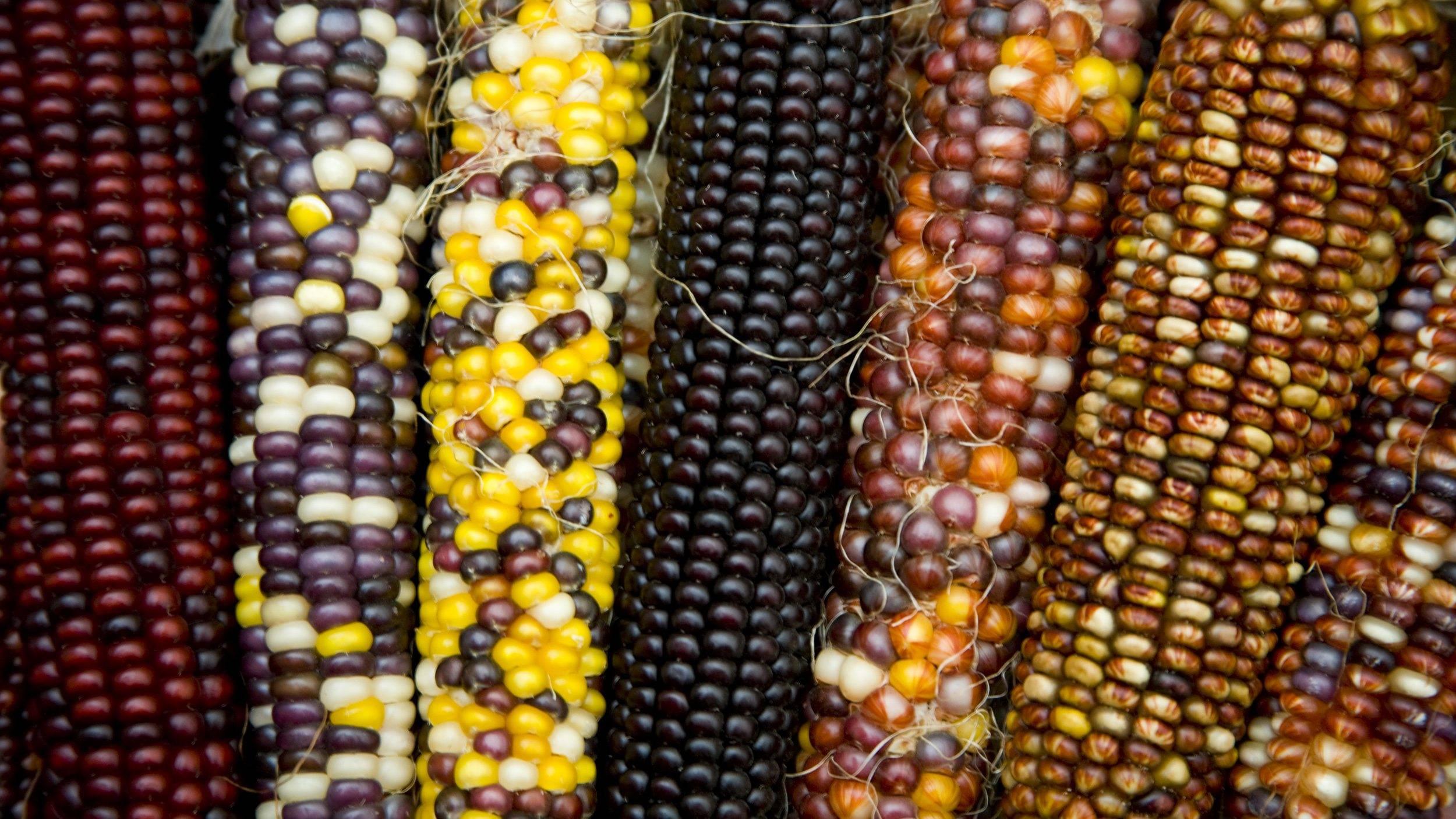 Кукуруза: польза и вред для здоровья, калорийность