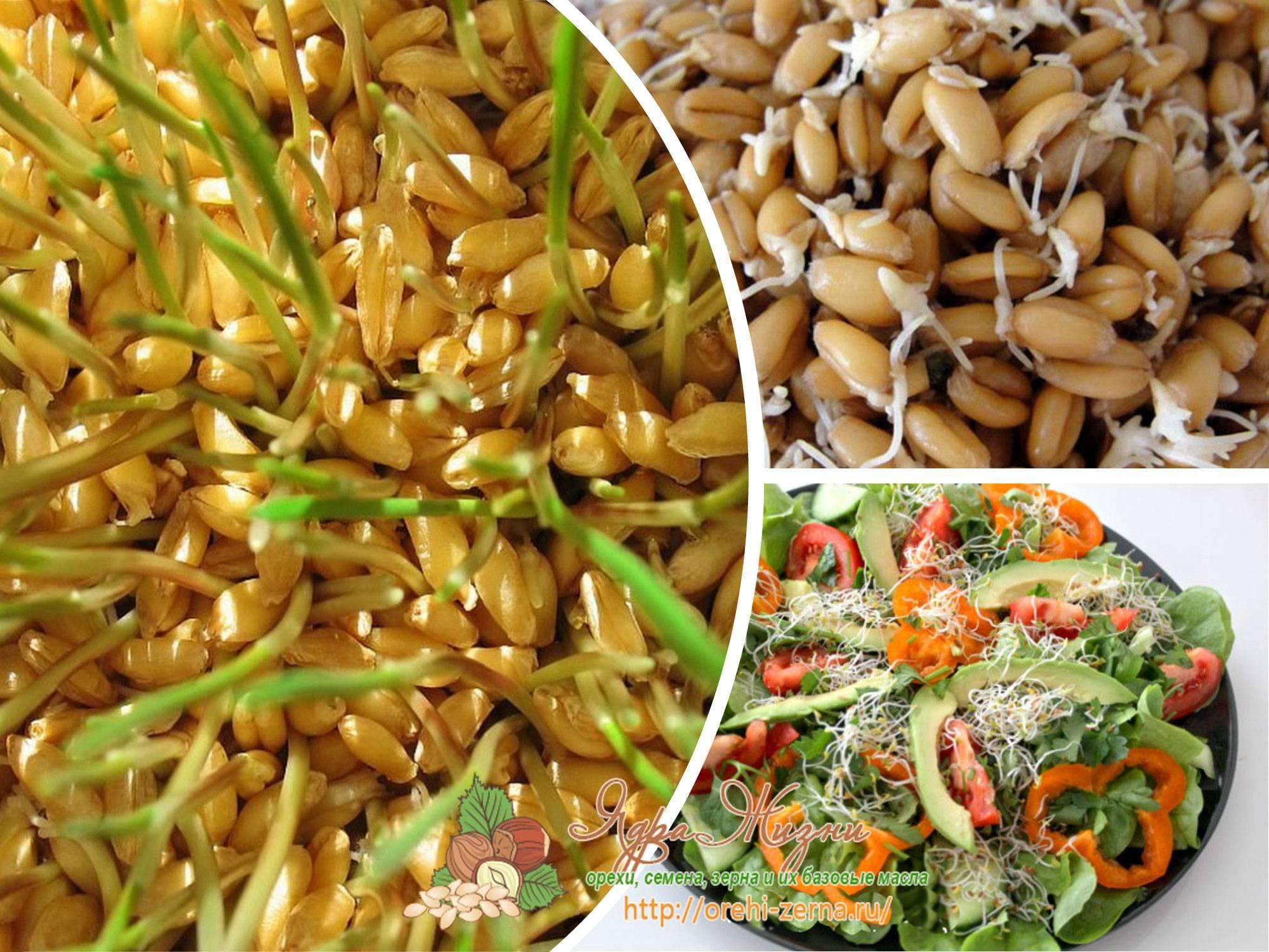 Как прорастить пшеницу и как ее употреблять