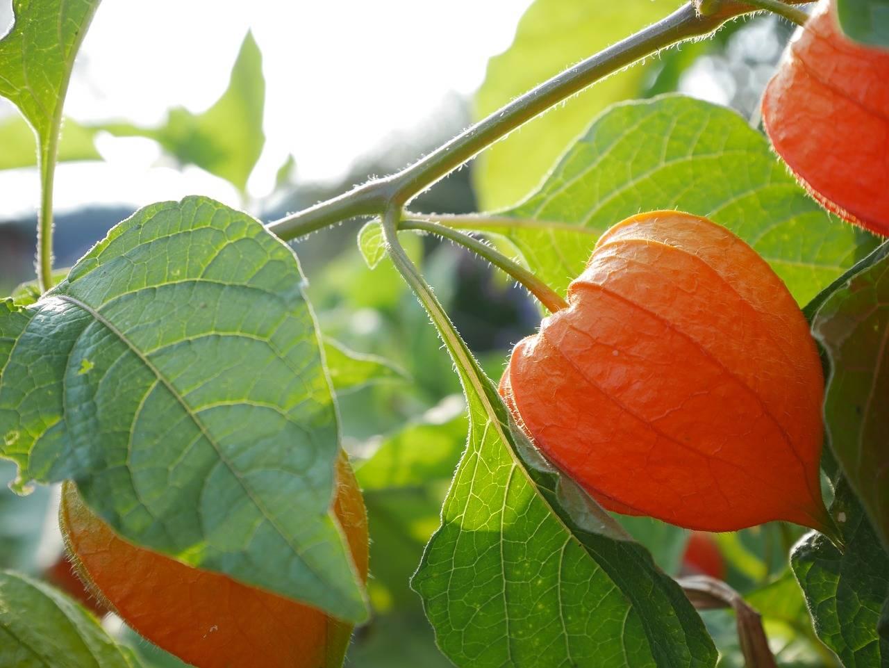 Физалис: полезные и лечебные свойства, как употреблять в пищу, противопоказания. возможные побочные эффекты фезалиса и вред для организма