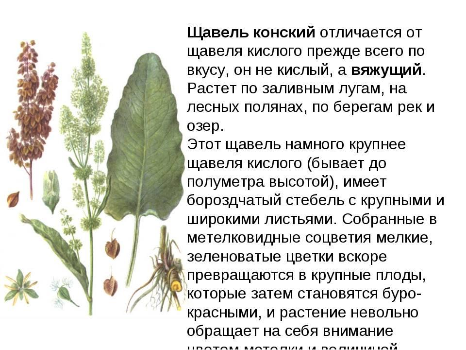 Конский щавель: лечебные свойства и противопоказания травы