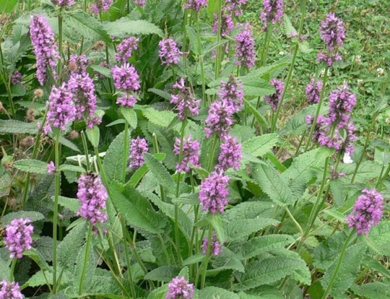 Буквица лекарственная: полезные свойства травы и способы ее приготовления