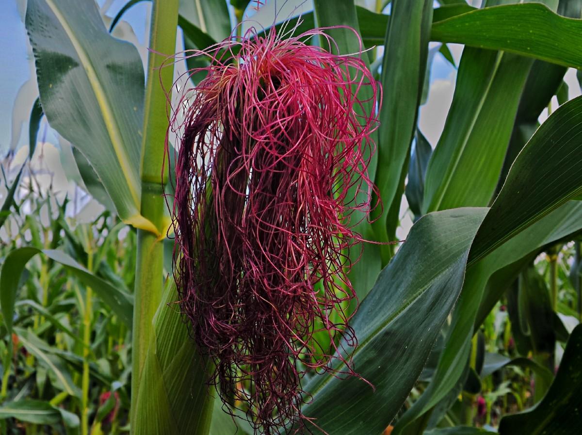Кукурузные рыльца: обзор лекарственного растения и его применение