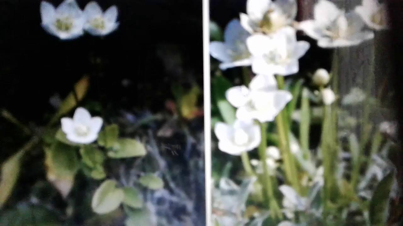 Белозор болотный — полезные свойства, описание