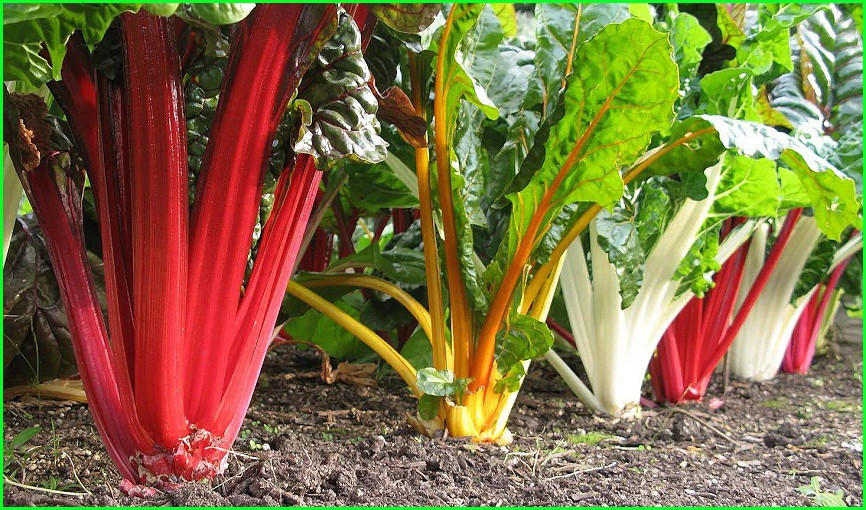 Можно ли употреблять корень мангольда в пищу. мангольд – польза и полезные свойства. состав и полезные свойства