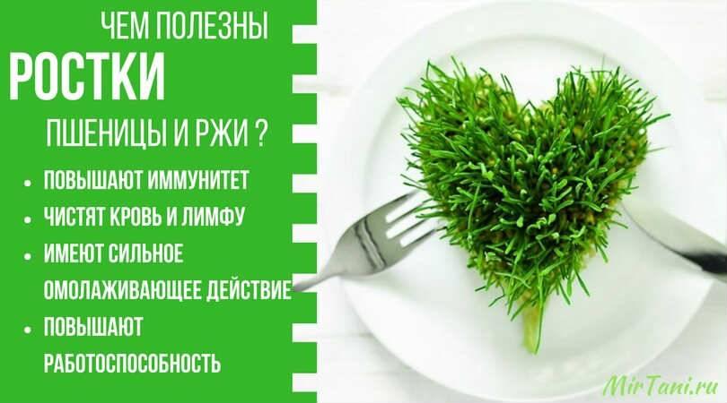Польза и вред пророщенной пшеницы для организма: как проращивать для еды дома и как принимать