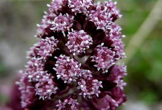 Белокрыльник болотный – растение с целебными свойствами