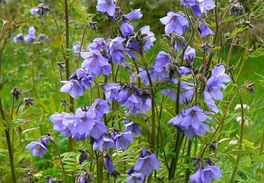 Синюха голубая – лечебные свойства и противопоказания