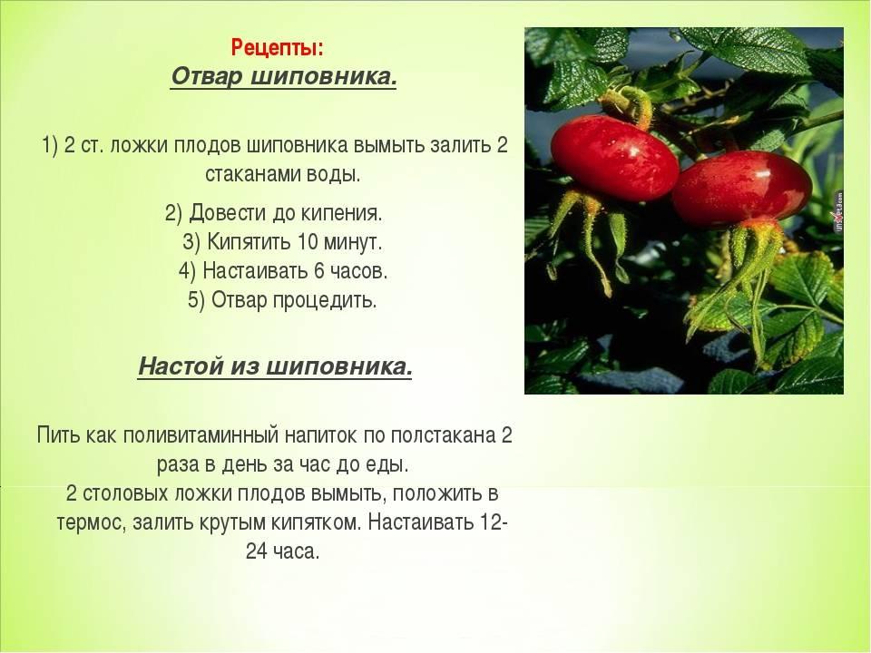 Шиповник — полезные свойства и противопоказания, для здоровья мужчин и женщин