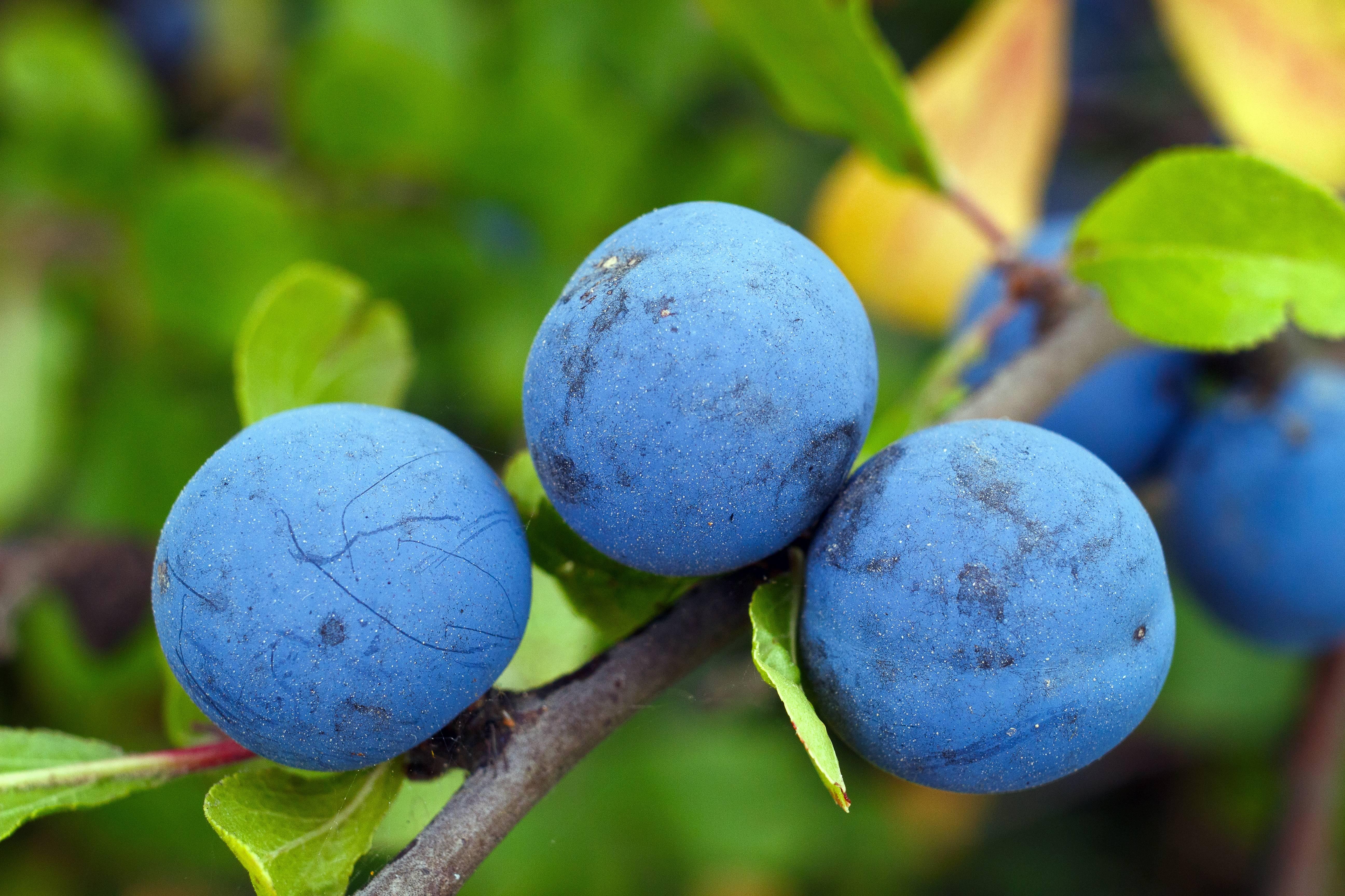 Ягоды терна: польза и вред для мужчин и женщин (варенье, вино, самогон)