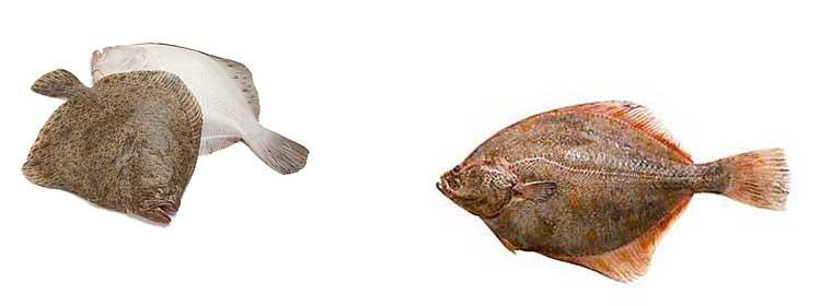 Рыба камбала, польза и вред для организма человека. камбала: польза и вред для организма