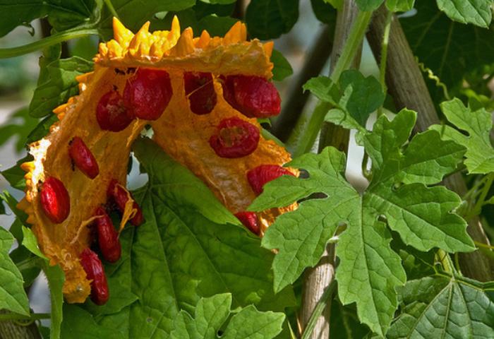 Момордика — выращивание и лечебные свойства