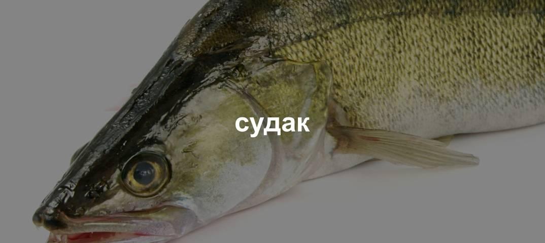 Судак — сколько пользы в этой рыбе