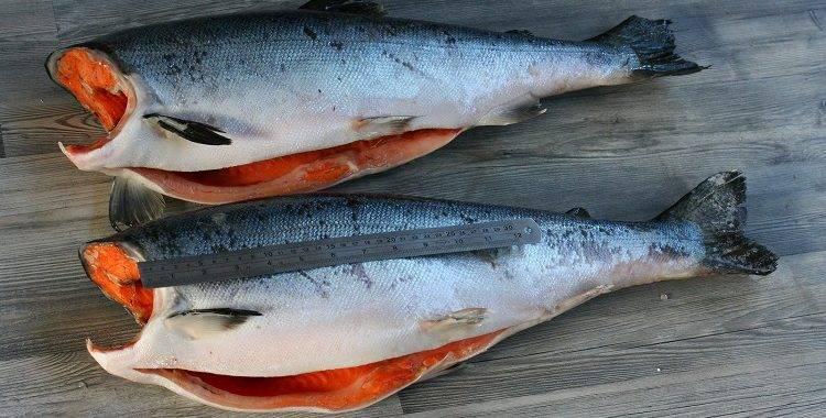 Рыба кета: польза и вред, состав, калорийность и жирность, секреты самых вкусных блюд