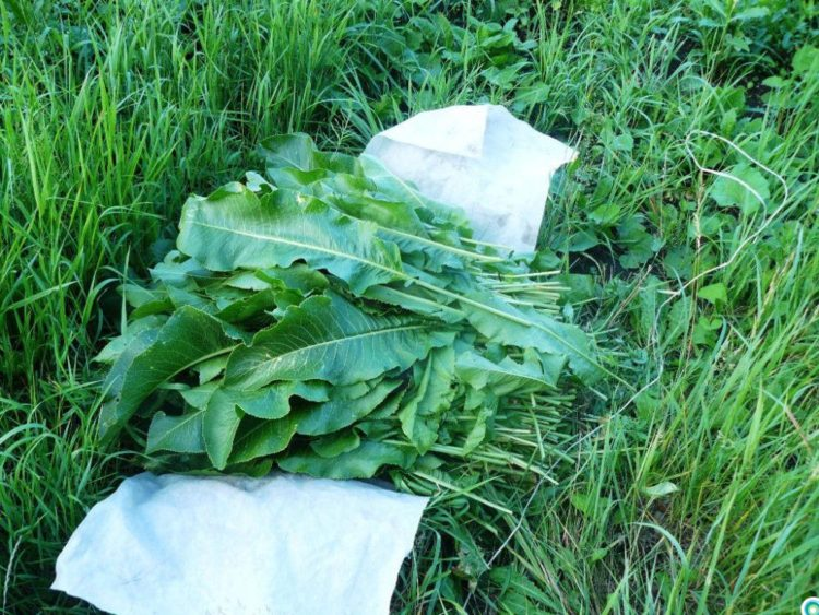Подробная характеристика листьев хрена, включая описание полезных свойств и противопоказаний. перечень рецептов
