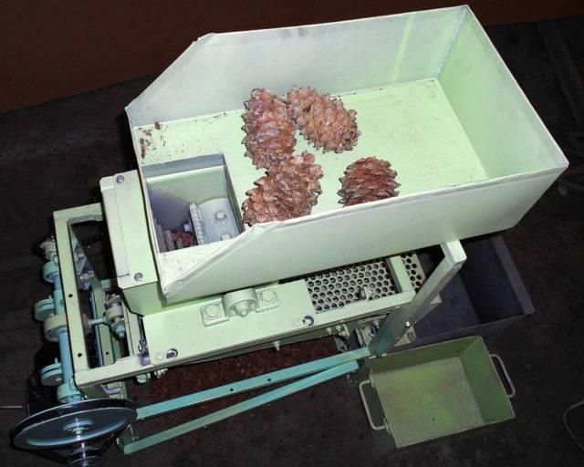 Как правильно чистить кедровые шишки и орехи?