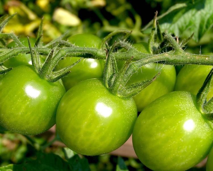 Зеленые помидоры — польза и вред для организма. зеленые помидоры польза и вред для организма