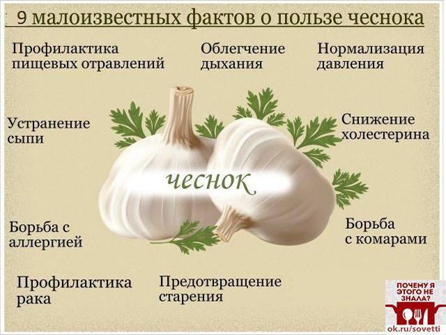 Чеснок – польза и вред для здоровья