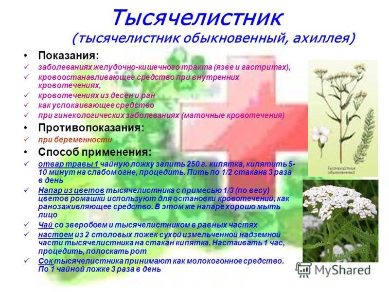 Тысячелистник: полезные свойства, противопоказания, польза и вред