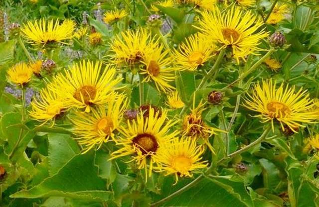Девять сил природного целителя: лечебные свойства корня девясила и противопоказания, использование в медицине и кулинарии