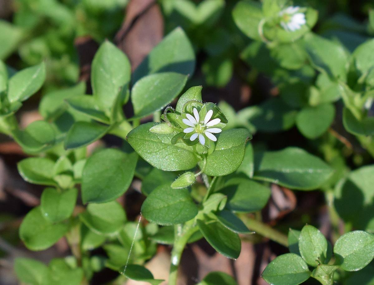 Лечебные свойства и противопоказания травы мокрица, польза и вред для здоровья