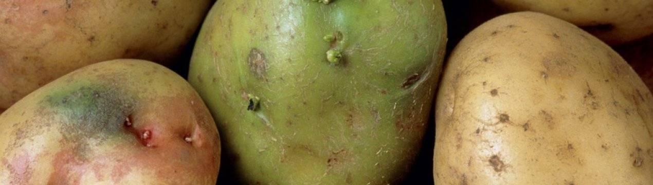 Позеленевший картофель. чем опасен, как использовать?