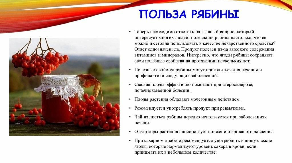 Лечебные свойства красной рябины и противопоказания