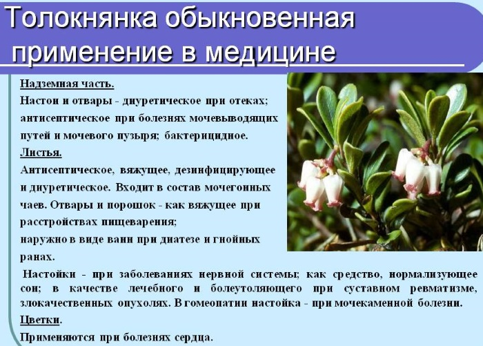 Толокнянка. лечебные свойства, рецепты применения в народной медицине. противопоказания
