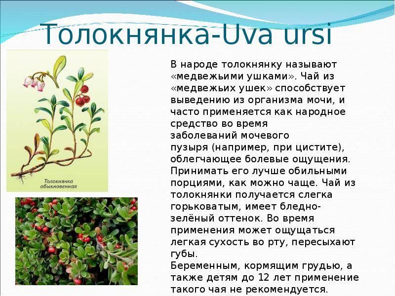 Состав листьев, лечебные свойства и противопоказания к употреблению толокнянки