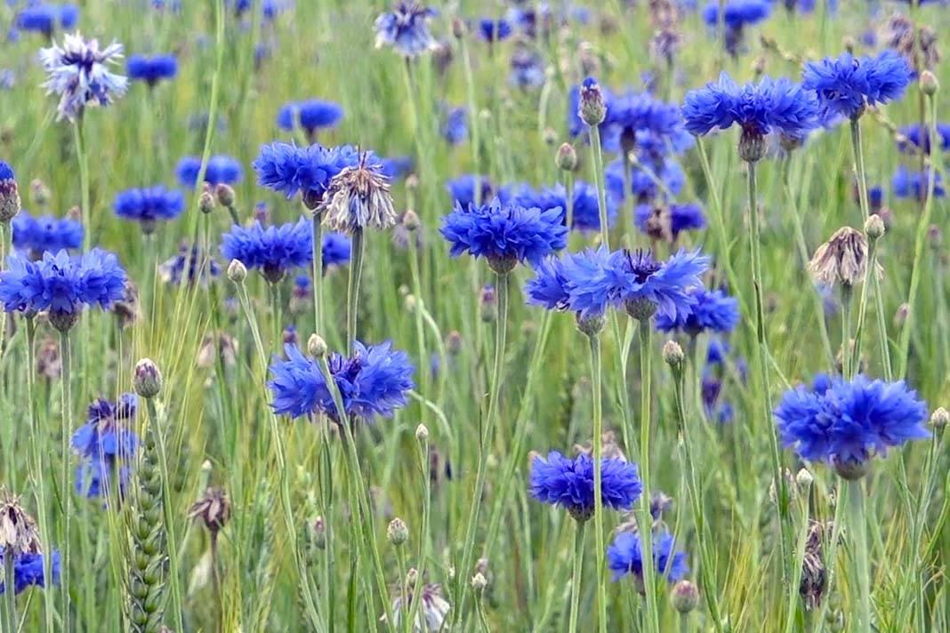 Лечебные свойства и противопоказания растения василек синий