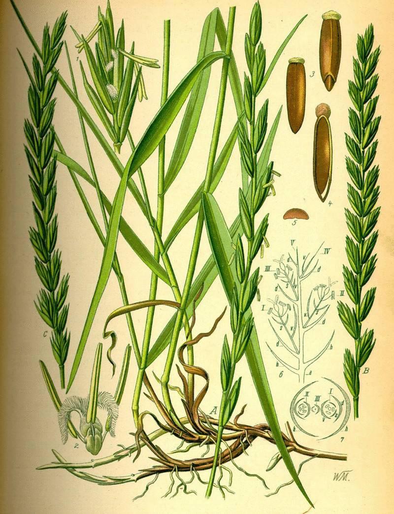 Ковыль способ применения в народной медицине. трава ковыль: лечебные свойства
