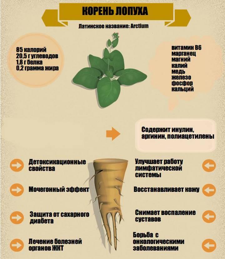Полезные свойства корня лопуха и народные рецепты лечебного применения