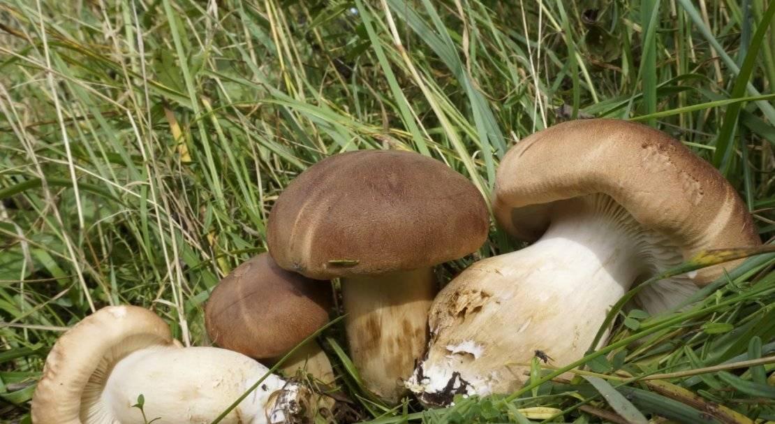 Грибы рядовки: съедобные и несъедобные виды, описание, особенности, свойства гриба семейства рядовковые