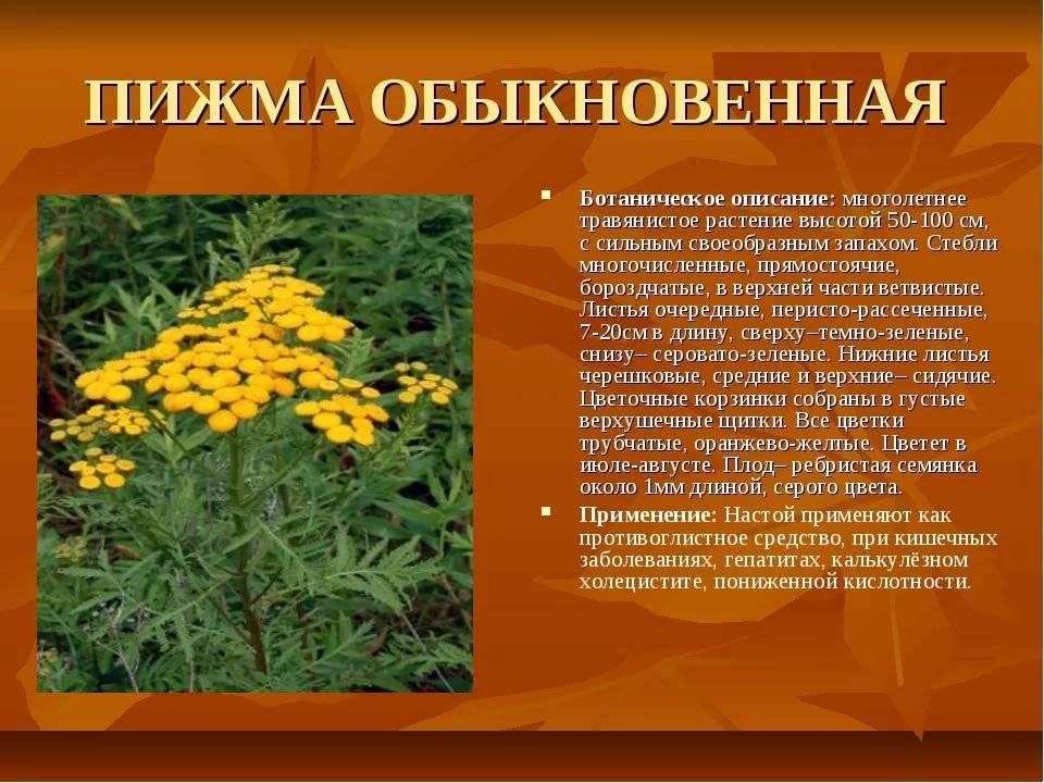 Трава пижма: полезные свойства, противопоказания и применение
