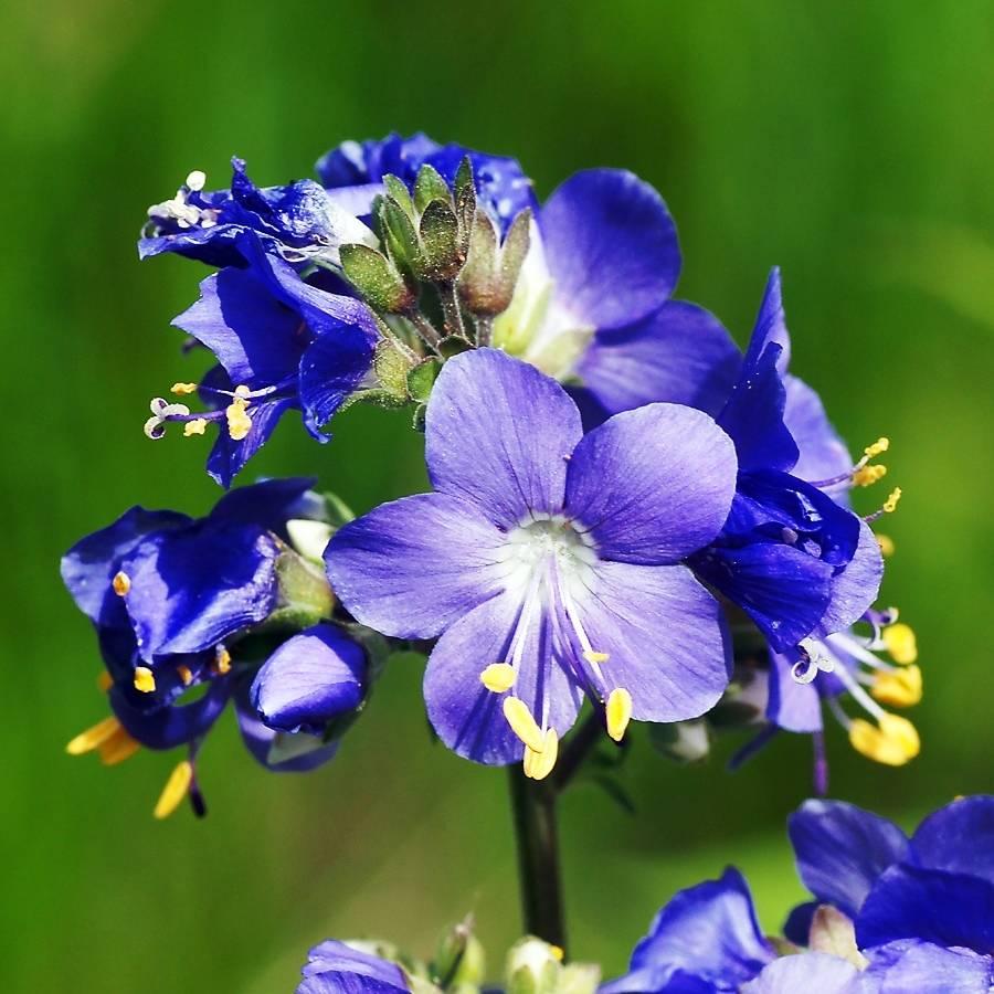 Синюха голубая: лечебные свойства, противопоказания, показания и применение. мнение врача о полезности синюхи голубой