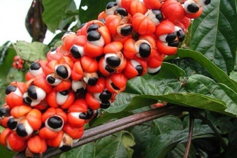 Гуарана— природный источник неиссякаемой энергии
