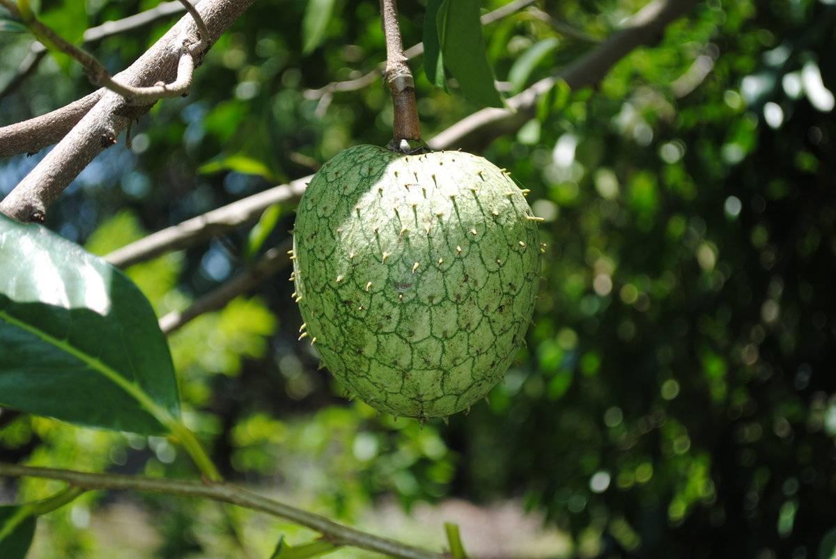 Гуанабана (сметанное яблоко или саусеп)